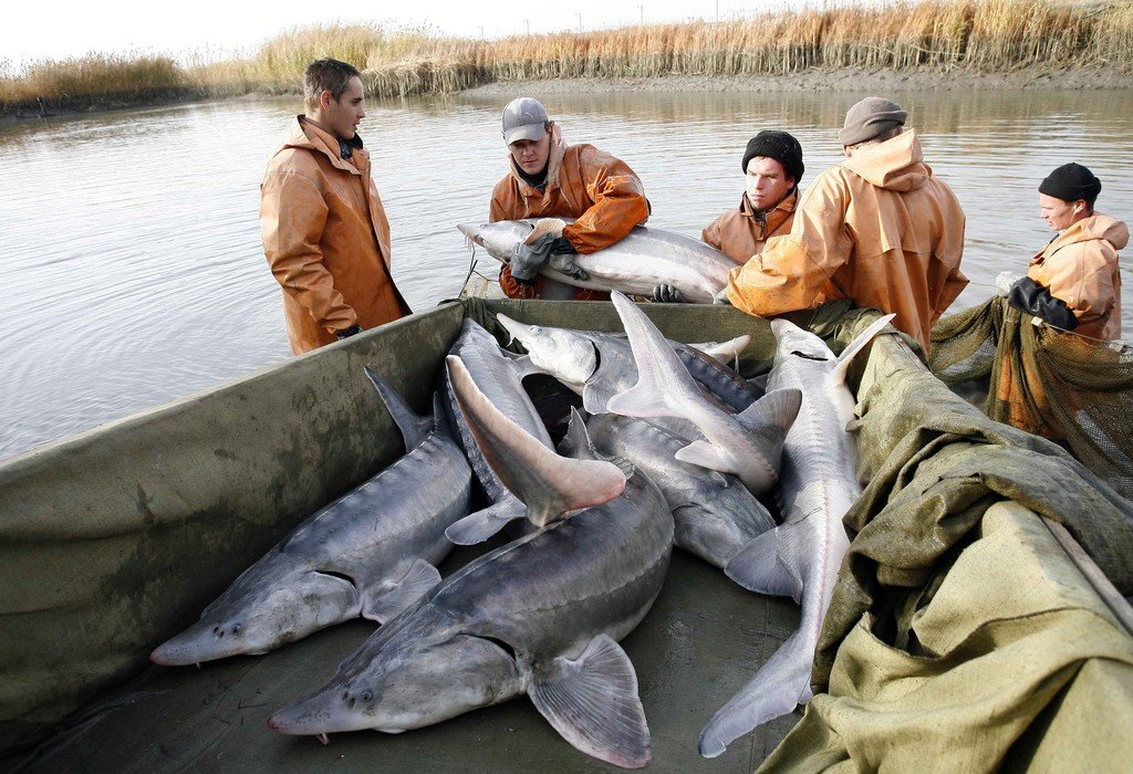 Workers transfer artificially reared Beluga sturgeons to a pond at Donskoi sturgeon farm